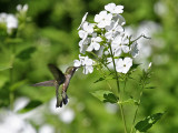 IMG_8783 Ruby-throated Hummingbird.jpg