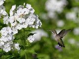 IMG_8745 Ruby-throated Hummingbird.jpg