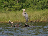 IMG_7746 Great Blue Heron.jpg