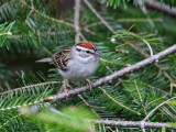 IMG_0366 Chipping Sparrow.jpg