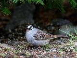 IMG_0174 White-crowned Sparrow.jpg