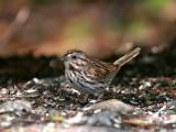 IMG_6601 Song Sparrow.jpg