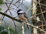 IMG_0055 Black-capped Chickadee.jpg
