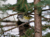 IMG_9745 Blue-headed Vireo.jpg
