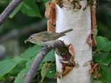 IMG_9114 Red-eyed Vireo.jpg