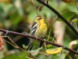 IMG_9255 Blackburnian Warbler.jpg