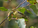 IMG_9704 Blackpoll Warbler.jpg