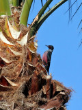 IMG_7218 Lewis's Woodpecker.jpg