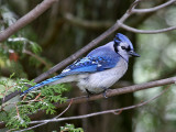 IMG_0132 Blue Jay.jpg
