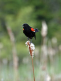 IMG_0515 Red-winged Blackbird.jpg