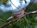 IMG_2964 Mourning Dove.jpg