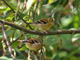 IMG_8639 American Goldfinch.jpg