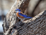 IMG_6637 Western Bluebird.jpg