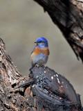 IMG_6641 Western Bluebird.jpg
