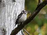 IMG_2948 Downy Woodpecker female.jpg