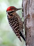 IMG_8567 Ladder-backed Woodpecker male.jpg