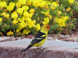 IMG_0737 Western Tanager male.jpg