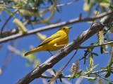 IMG_8333 Yellow Warbler.jpg