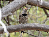 IMG_1213 Northern Flicker red-shafted.jpg