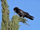 IMG_7382a Chihuahuan Raven.jpg
