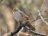 IMG_1680 White-crowned Sparrow.jpg