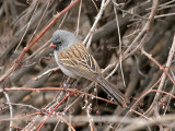 IMG_2060 Black-chinned Sparrow.jpg