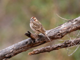 IMG_0303 Lark Sparrow.jpg
