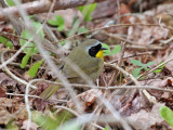 IMG_2334 Common Yellowthroat.jpg