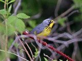 IMG_2565 Canada Warbler.jpg