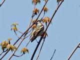 IMG_2700 Chestnut-sided Warbler.jpg