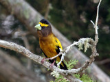 IMG_2810 Evening Grosbeak male.jpg
