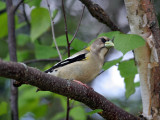 IMG_3255 Evening Grosbeak female.jpg