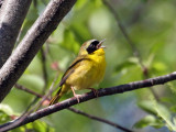 IMG_3173 Common Yellowthroat.jpg