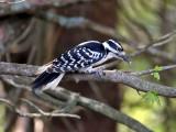 IMG_2873 Hairy Woodpecker.jpg