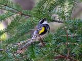 IMG_2835 Yellow-rumped Warbler.jpg