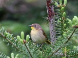 IMG_3350 Common Yellowthroat.jpg