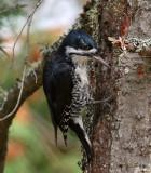 IMG_9791 Black-backed Woodpecker.jpg