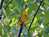 IMG_3963 Yellow Warbler.jpg