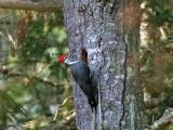 IMG_0290 Pileated Woodpecker.jpg