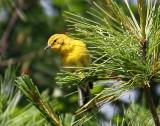 IMG_5248  Pine Warbler.jpg