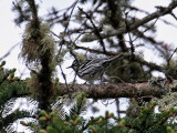 IMG_3142Black and White Warbler.jpg