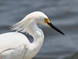 IMG_6371 Snowy Egret.jpg