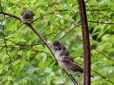 IMG_6061 Eastern Phoebe fledglings.jpg
