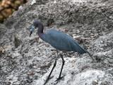 IMG_6221 Little Blue Heron.jpg