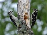 IMG_6536 Hairy Woodpeckers.jpg