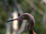 IMG_5870 Reddish Egret.jpg