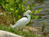 IMG_6365 Snowy Egret.jpg