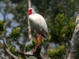 IMG_5942 White Ibis.jpg