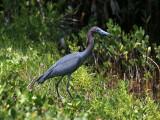 IMG_5849 Little Blue Heron.jpg
