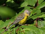 IMG_7127 Magnolia Warbler.jpg